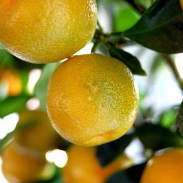 Етерично масло от Лимон.10мл.